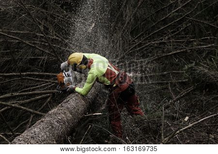 Forester cutting the branches off of the spruce tree with chainsaw