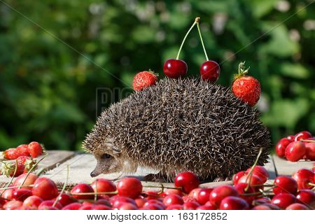 pretty young hedgehog Erinaceus europaeus with cherry and strawberry on thorns among the sweet berry on green leaves background