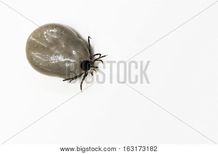 Engorged black legged deer tick (Ixodes scapularis)