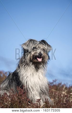 Portrait of cute grey lap dog. It is beautiful sunny day with blue sky on a background.