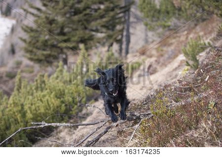 Black dog jumping over obstacle in nature. He train for agility competition on a fun way on a everyday dog walks.