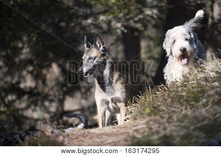 Two cute dog friends. Focus on a Belgian Shepherd dog.