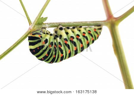 Old World Swallowtail (Papilio machaon) butterfly caterpillar preparing for transformation of the pupa