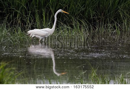 Great Egret (Ardea alba) Wading in Water