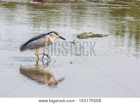 Black-crowned Night Heron wading in the water of a salt marsh