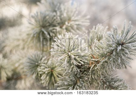 Winter background. Tree in frost. Pine tree branches covered with hoarfrost. Frosted fir-tree. Christmas background with a coniferous branch in snow. Fir tree covered with snow under morning sunbeams