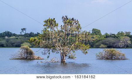 Little cormorant in Thabbowa sanctuary, Puttalam,Sri Lanka ; specie Phalacrocorax niger family of Phalacrocoracidae