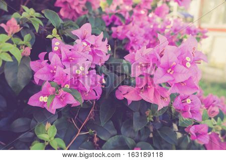 Pink Bougainvillea flower or Paper flower in garden