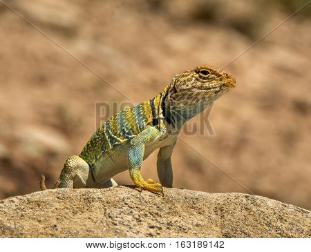 A brightly colored Collared Lizard sits in ths sunshine observing its surroundings from a rock in a Colorado natural area.