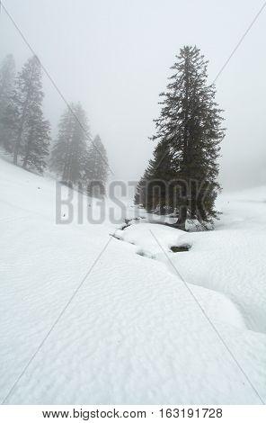 spruce trees in dense winter fog Germany