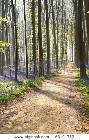walk path in sunny forest with bluebell flowers
