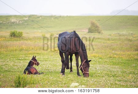 horse with relaxed foal on summer pasture