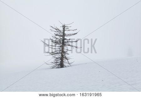 dry tree on snow in dense fog Feldberg Germany