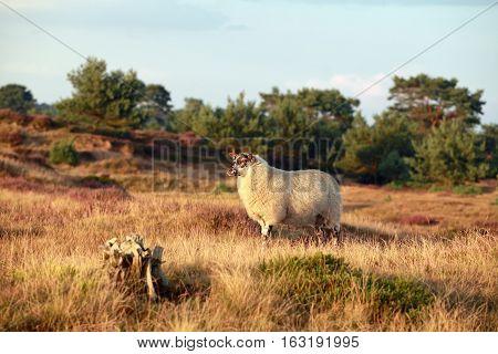 sheep on sunny summer heathland Drenthe Netherlands