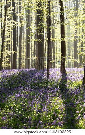 sunny flowering spring forest Hallerbos in Belgium