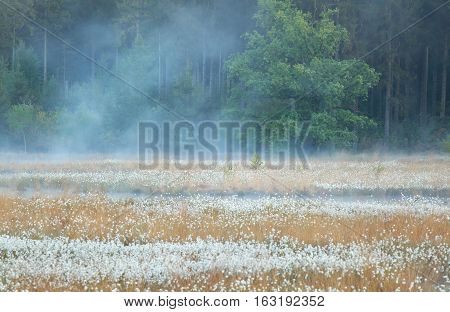 serene misty morning on wild swamp with cotton grass