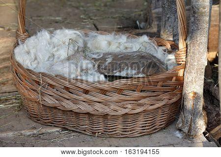 wool after shearing waiting to be spun
