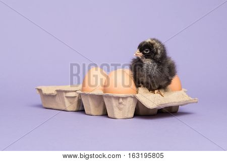 Cute brown baby chicken sitting in a paperboard egg carton between eggs on a purple background