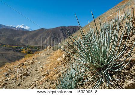Desert plants growing in arid wastelands. Annapurna circuit trek in Nepal.