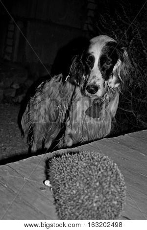 Pure breed blue belton english setter(white bid furry dog of hunting breed) staring at the wild hedgehog in black and white style