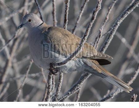 Eurasian-collared Dove relaxing on a Freezing Cold Morning