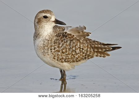 Black-bellied Plover Wading In The Gulf Of Mexico