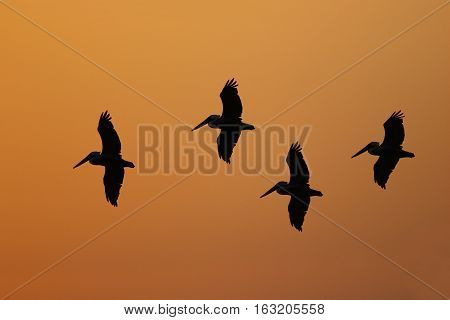 Brown Pelicans Silhouetted In Flight - Florida