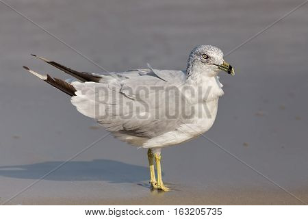 An adult nonbreeding Ring-billed Gull Larus delawarensis bird of North America on the beach