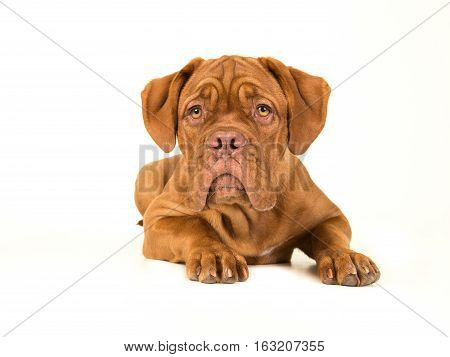 Cute bordeaux dogue lying down on the floor with its head up isolated on a white background