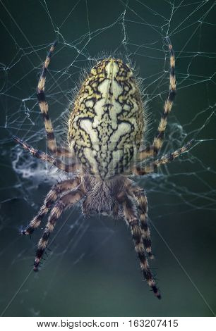 Aculepeira ceropegia. Spider sitting in the web
