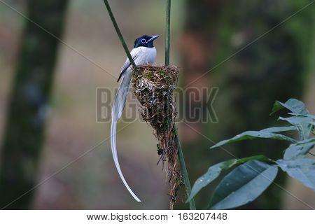Asian paradise flycatcher Male white morph Bird nest