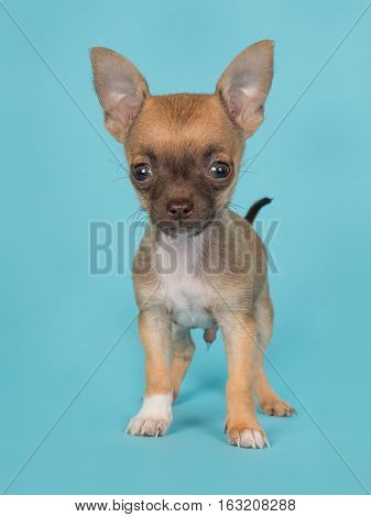 Cute standing chihuahua puppy seen from the front on a blue background