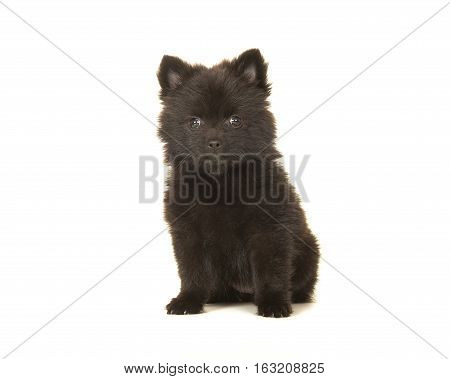 Cute sitting black pomeranian puppy dog isolated on a white background facing the camera