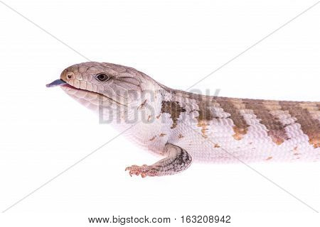 Portrait of a blue tongued skink lizard with its tongue sticking out on a white background