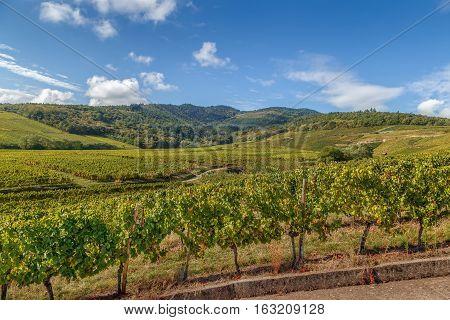 Vineyard in Alsace near Dambach la Ville France.Autumn
