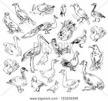 Wild birds. Zoo. Set. Hand-drawn. Isolated on white background