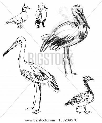 White Stork. Brant goose. Set. Hand-drawn. Isolated on white background