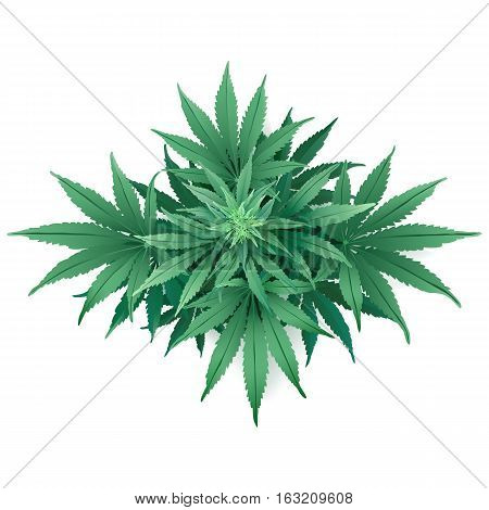 Cannabis or Marijuana. Hand drawn vector illustration of the plant in top view on white background.