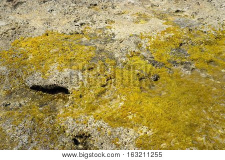Alga on stones on the coast of Cretan Sea near Hersonissos Crete Greece.