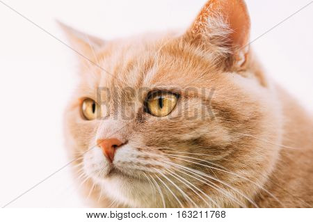 Close Up Of Funny Fatty Red Cat At White Background