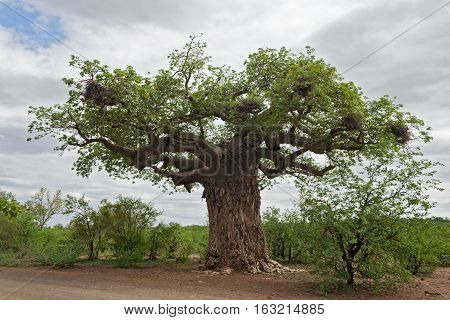 Big baobab tree with weaver bird nests in South Africa