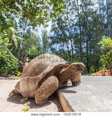 Big old Aldabra giant turtle, Aldabrachelys gigantea, crossing road on La Digue island, Seychelles.