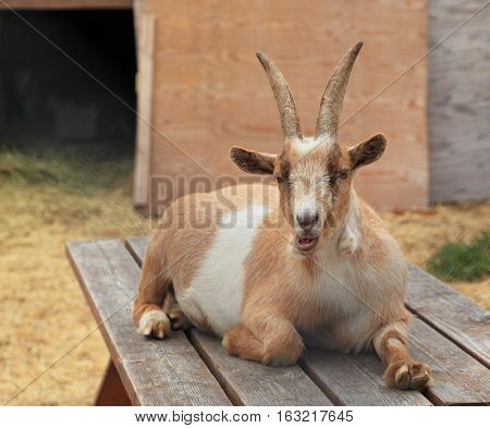 A domestic goat (Capra aegagrus hircus) resting on a wooden picnic table.