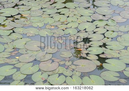 The Lotus leafs over on the water