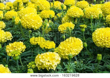 Beautiful yellow marigold - taken in the proximity.