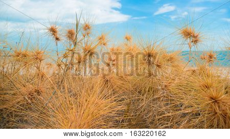 Dry grass with sand beach sea view.