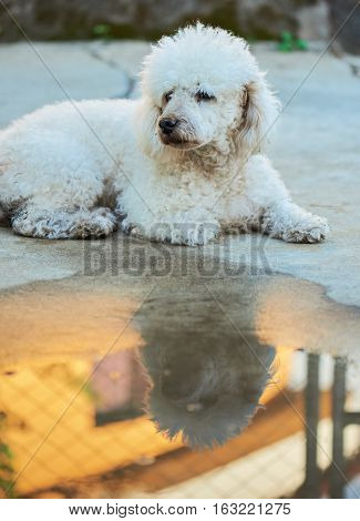 Lost white dirty poodle dog lay on street. Homeless white poodle