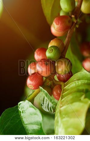 Closeup of raw coffee beans on tree with green leafs