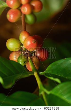 Closeup of coffee branch tree with coffee red ready beans