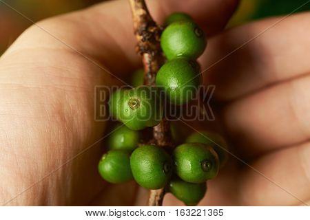 Raw green coffee branch in farmer hand closeup